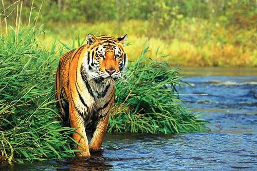 tiger, Central India Bird Watching and Tiger Tour
